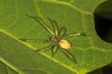Long Legged Sac Spider ( Cheiracanthium inclusum )