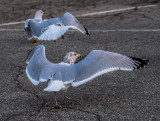 The Dance of the Gulls