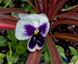 Pansy - May in Connecticut