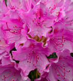 Rain drops on pink rhododendron