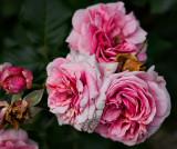Early rose bloom - on the wan. - B&W Mono Profile 2 below