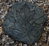 Rocky Mountain Maple