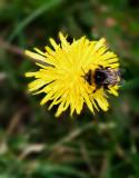Irish dandelion and bee