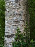 ivy climbing tree trunk