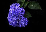 Hydrangea - early autumn