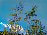 birch trees against the sky