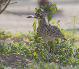 Spotted Thick-knee - Kaapse Griel - Burhinus capensis