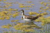 Pheasant-tailed Jacana - Waterfazant - Hydrophasianus chirurgus