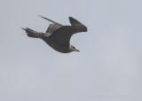 Kleinste Jager (Stercorarius longicaudus)