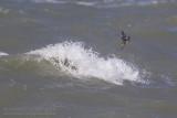 Vaal Stormvogeltje (Oceanodroma leucorhoa)