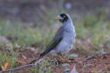 Noisy Miner - Tuinhoningvogel - Manorina melanocephala