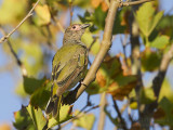 Australian Figbird - Grijskraagvijgvogel - Sphecotheres vieilloti