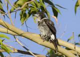Grey Butcherbird - Grijsrugorgelvogel - Cracticus torquatus
