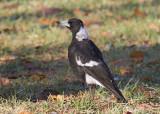 Australian Magpie - Zwartrugfluitvogel - Cracticus tibicen