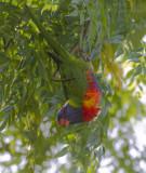 Rainbow Lorikeet - Regenbooglori - Trichoglossus moluccanus