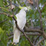 Sulphur-crested Cockatoo - Grote Geelkuifkaketoe - Cacatua galerita