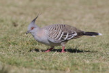 Crested Pigeon - Spitskuifduif - Ocyphaps lophotes