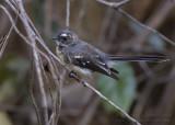Grey Fantail - Grijze Waaierstaart - Rhipidura albiscapa