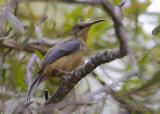 Eastern Spinebill - Zwarthalshoningvogel - Acanthorhynchus tenuirostris