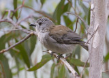 Grey Shrike-thrush - Grijze Lijsterdikkop - Colluricincla harmonica