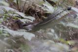 Superb Lyrebird - Liervogel - Menura novaehollandiae