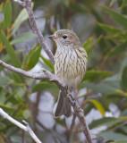 Rufous Whistler - Grijsrugfluiter - Pachycephala rufiventris