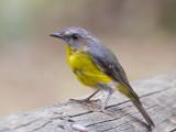 Eastern Yellow Robin - Groenstuitvliegenvanger - Eopsaltria australis