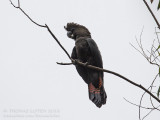 Glossy Black Cockatoo - Bruine raafkaketoe - Calyptorhynchus lathami