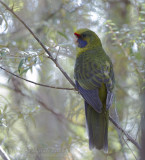 Green Rosella - Geelbuikrosella - Platycercus caledonicus