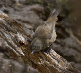 Tasmanian Scrubwren - Tasmaanse Bruine Struiksluiper - Sericornis humilis