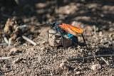 pepsis Wasp (Tarantula Hawk)