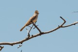 Brown-creasted Flycatcher