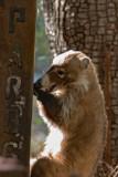 White-nosed coati (coatimundi)