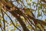 Sulphur-bellied Flycatcher (Male)