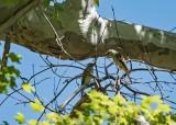 Sulphur-bellied Flycatchers (Both Males)