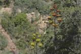 Century Plant (Agave Americana)