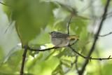 Yellow Warbler (Immature)