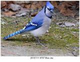 20161111 8797 Blue Jay.jpg