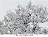 20170325 1816 Northern Cardinal.jpg