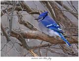 20170325 5077 Blue Jay.jpg