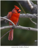 20170329 6160 Northern Cardinal.jpg