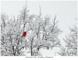 20170325 1817 Northern Cardinal.jpg