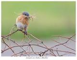 20170420 7355 SERIES -  Eastern Bluebird.jpg