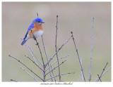 20170420 7401 Eastern Bluebird.jpg