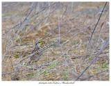 20170420 7380 Eastern Meadowlark.jpg