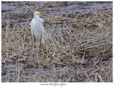 20170412 6867 Great Egret.jpg