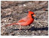 20170419 7255 Northern Cardinal.jpg