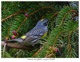 20170504 8001 Yellow-rumped Warbler.jpg
