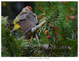 20170509 8559 Palm Warbler.jpg