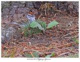20170509 8672 Chipping Sparrow.jpg